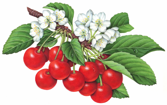Cherries-twelve-sour-montmorency-cherries-on-a-branch-w-blossoms1
