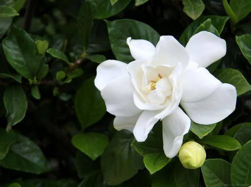 gardenija