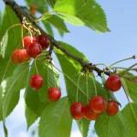 NEVEROVATAN RECEPT : Skuvajte listove višnje sa pivom i dejstvo napitka će vas oduševiti